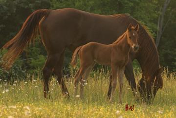 Panel - Hart Mare & Foal